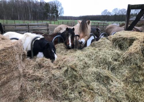 Paarden in spankeren eten hooi