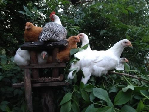 hennen-kippen-spankeren